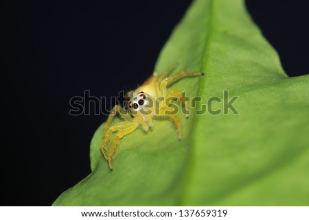 Jumping spider yellow.