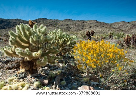 Jumping Teddy Cholla in the Mojave Desert, California.