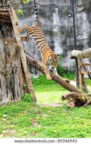 jumping tiger - stock photo