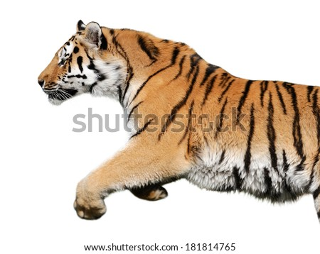 jumping tiger on white background - stock photo