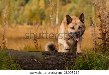Jumping tired West Siberian laika (husky) - stock photo