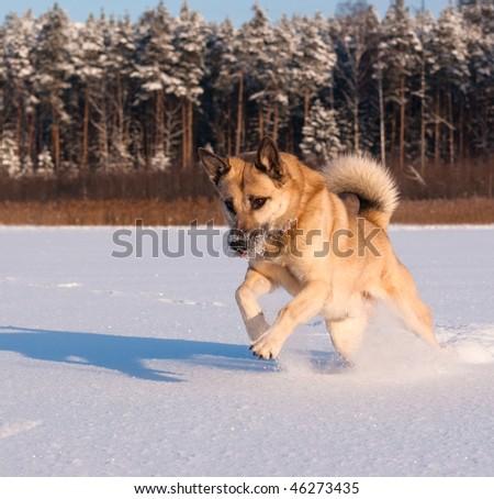 Jumping West Siberian Laika (Husky) - stock photo