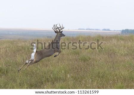 Jumping Whitetail Deer - stock photo