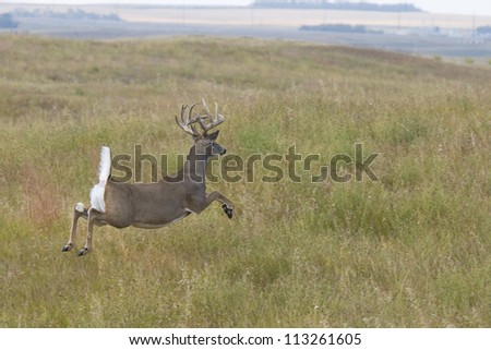 Jumping Whitetail Deer on the Prairie - stock photo