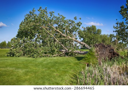 June 12, 2015  Redcliff, Alberta, Canada. A huge tree is uprooted at the Redcliff Golf Course after a violet storm that included wind, hail & rain, swept through the region at approximately 3:30 pm. - stock photo