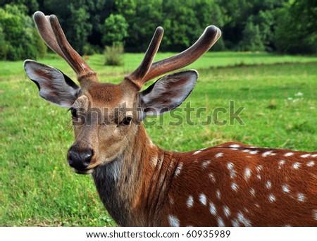 jung deer in nature - stock photo
