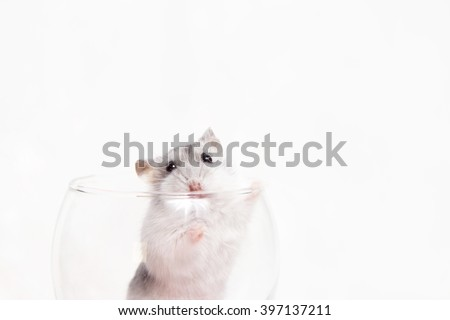 Jungar hamster in a transparent glass - stock photo