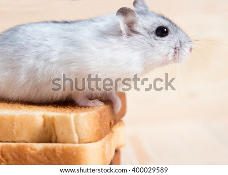 Jungar hamster on a small bread toasts - stock photo