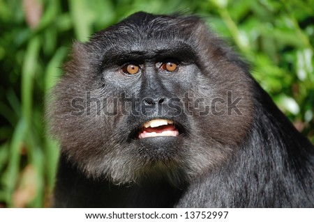 Jungle ape Face - stock photo