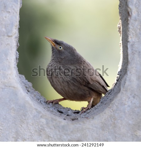 Jungle Babbler - stock photo