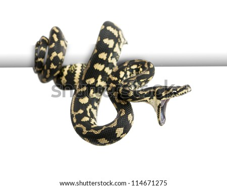 Jungle carpet python attacking, Morelia spilota cheynei against white background - stock photo