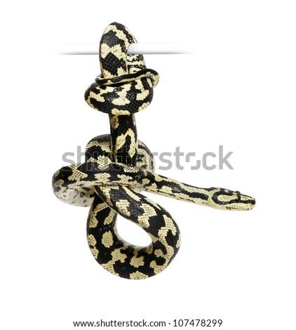Jungle Carpet Python, Morelia spilota cheynei, black and yellow, against white background - stock photo