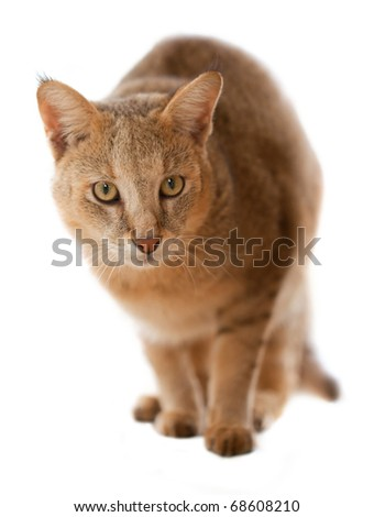 Jungle Cat (Felis chaus furax) - stock photo