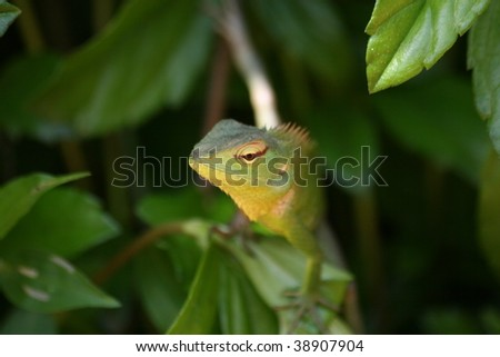 jungle lizard, adam's peak, sri lanka - stock photo