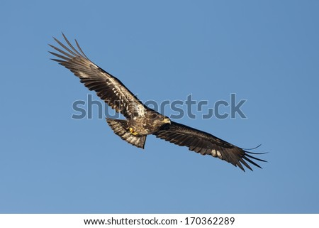 Junior eagle with wings spread. - stock photo