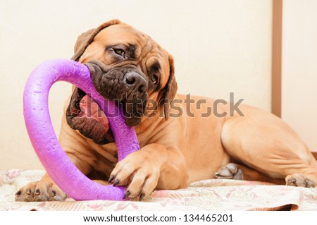 junior puppy bullmastiff lying on a rug in the house. 9 months age, Dog playing toy puller