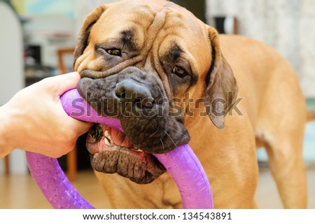 junior puppy bullmastiff playing with a man with a toy. training in the house. 9 months age - stock photo