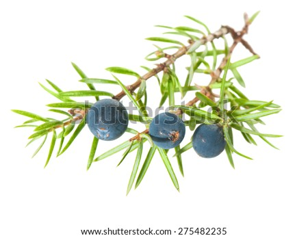Juniper berries on a white background. - stock photo