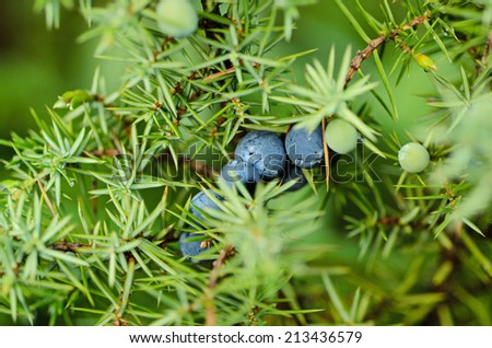 Juniper blue berries on the tree, natural background - stock photo
