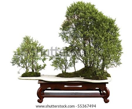 juniper bonsai - stock photo