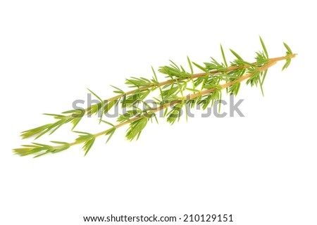 Juniper Branches Isolated on White Background - stock photo