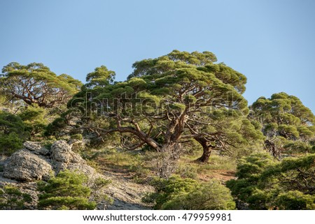 juniper grove at dawn Mountains of Crimea, sinuous trunks