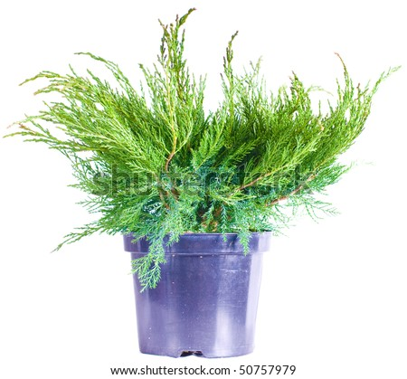Juniper in a pot on a white background - stock photo