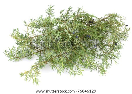 Juniper twig and berries on a white background