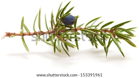 juniper twig  isolated on white - stock photo