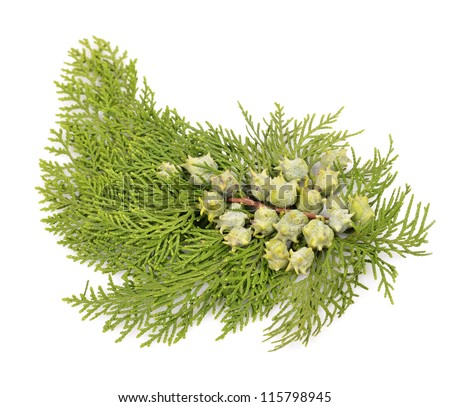 Juniper, twig with cones, close up, isolated - stock photo