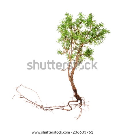 juniper with long root isolated on white background