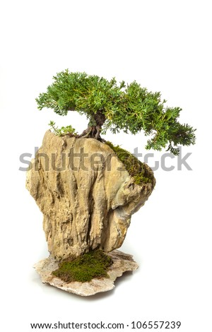 Juniperus chinensis bonsai isolated on white - stock photo