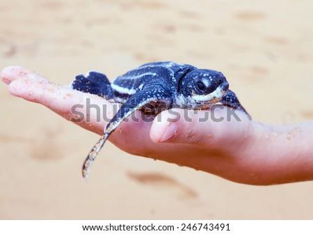 Just born baby Leatherback turtle  ( Dermochelys coriacea) on a child's hand.  Island of Puerto Rico, United States - stock photo