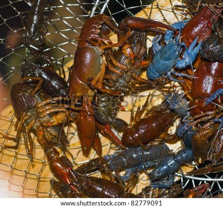 just caught crayfish in net - stock photo
