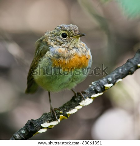 Just fledged bird on it's first flight out of the nest. Erithacus rubecula, Robin - stock photo