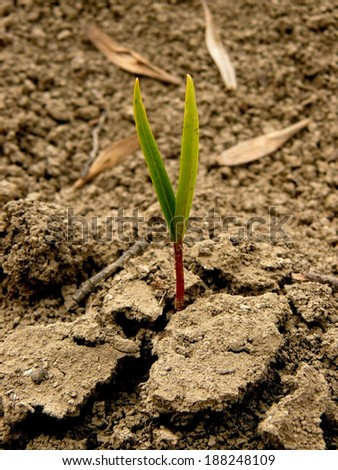 just germinated small ash-tree seedling - stock photo