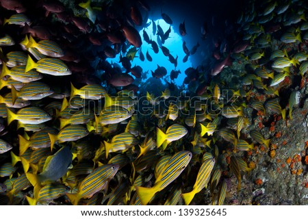 Just off Cocos Island, Costa Rica, a large school of snapper cruise through a hole in a pinnacle.  This remote island is known for its large populations of sharks and fish. - stock photo