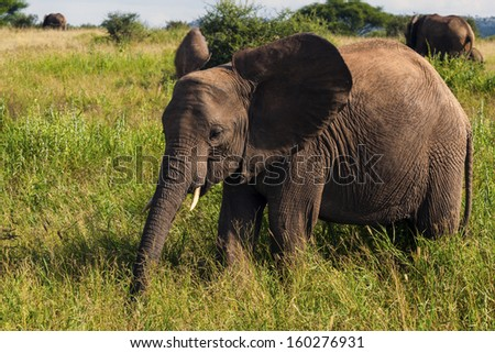 Just Walking By, Elephant In Tanzania