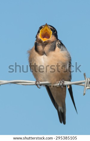 Juvenal Barn Swallow perched on a barbed-wire fence calling for its parents to come feed it. - stock photo