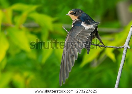 Juvenal Barn Swallow perched on a pranch stretching its wing. - stock photo