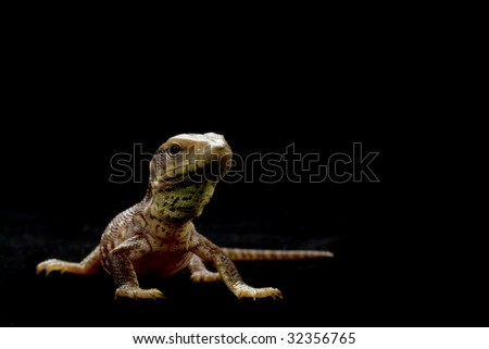 Juvenal savannah monitor (Varanus exanthematicus) isolated on black background. - stock photo