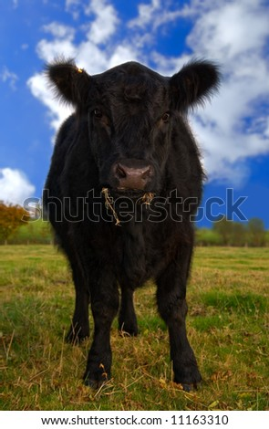 Juvenile Aberdeen Angus cow in rural setting - stock photo