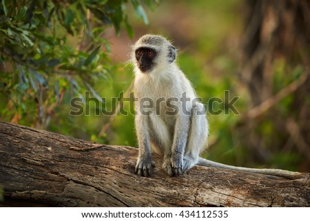 Juvenile African Vervet monkey, Chlorocebus pygerythrus sitting on trunk in colorful evening light, front view. Kruger park, South Africa. - stock photo