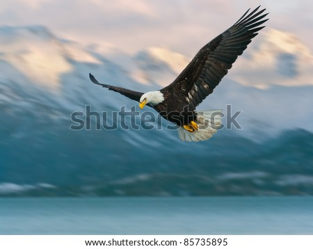 juvenile american bald eagle in flight, in alaska and illustrated over homer harbor - stock photo