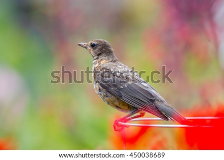 Juvenile American Robin perched on a post. - stock photo