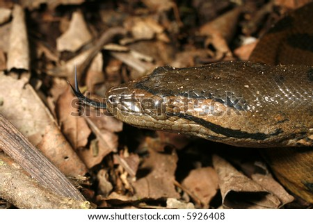 Juvenile anaconda (Eunectes murinus) - stock photo