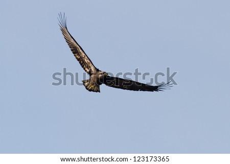 juvenile bald eagle flying in december, coeur d alene idaho - stock photo