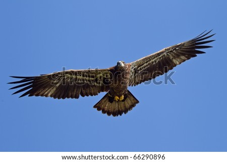 Juvenile  Bald Eagle (haliaeetus leucocephalus) in flight against a blue sky - stock photo