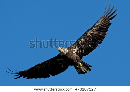 Juvenile Bald Eagle in flight on a clear day