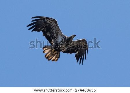 Juvenile Bald Eagle over Lake Jordan - stock photo